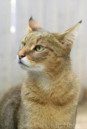 Rare cat breeds and Breed information - Chausie Cat