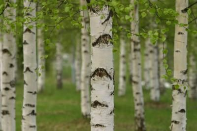 How to Plant a Birch Tree