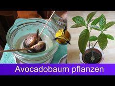 Avocado pflanzen: Avocadobaum selber ziehen   Philognosie