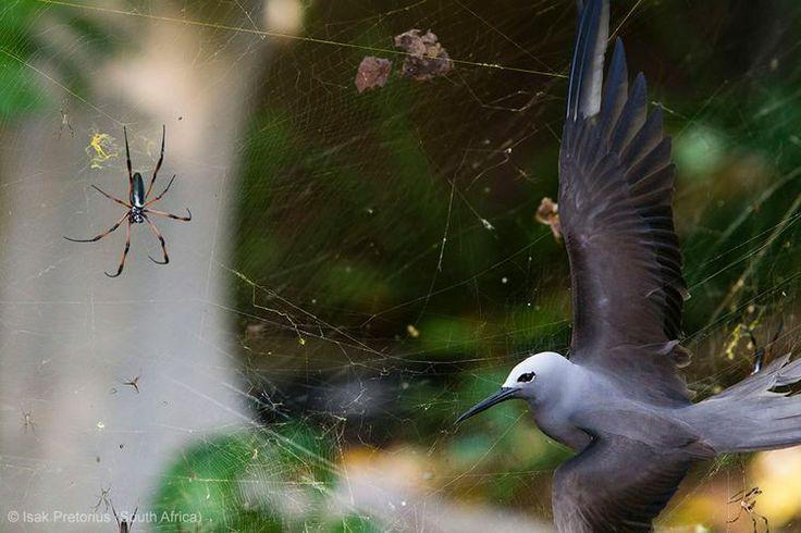 The BBC Wildlife Awards 2013 - BEHAVIOUR BIRDS – WINNER: 'Sticky situation' by Isak Pretorius