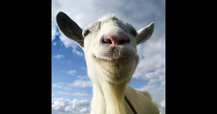 cool Goat Simulator - Coffee Stain Studios AB Check more at https://www.quanrel.com/goat-simulator-coffee-stain-studios-ab/