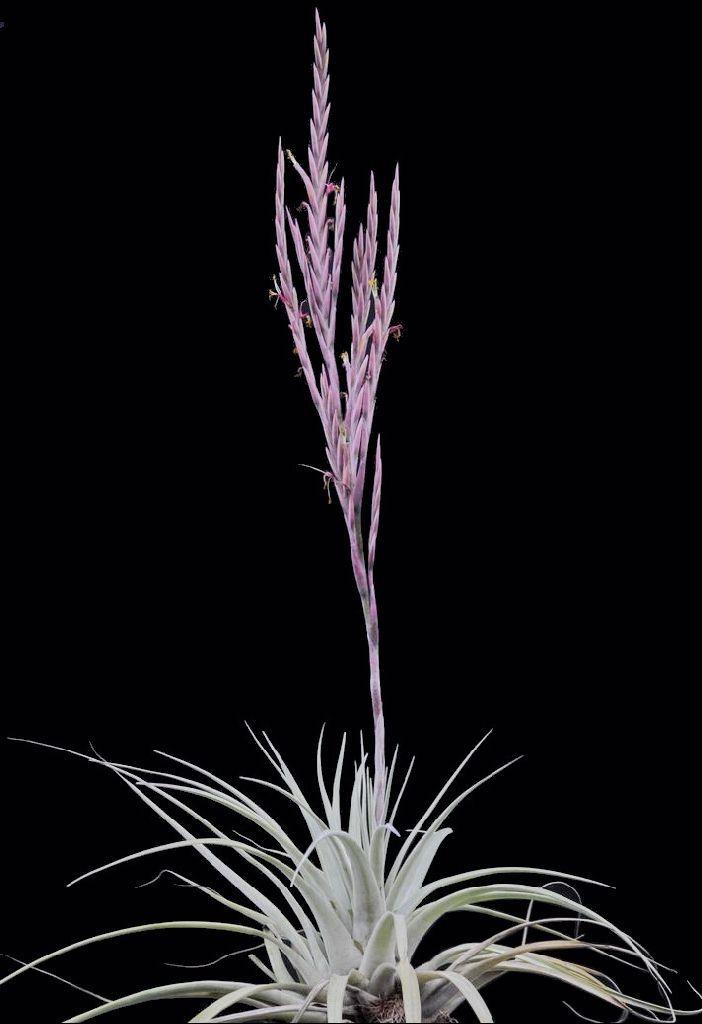 Tillandsia fasciculata fille de l/'air,air plant