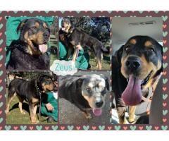 ZEUS BUSCA FAMILIA  #Adopción #adopta #adoptanocompres #adoptar #LealesOrg  Contacto y info: Pulsar la foto o: https://leales.org/animales-en-adopcion/perros-en-adopcion/zeus-busca-familia_i144 ℹ   Zeus es un precioso grandullón de unos 45 kilos nacido el01/07/2010 y está castrado. Fue rescatado hace varios años de la perrera y desde entonces sigue en residencia.. el pobre sigue sin suerte.  Los grandes no merecen ser felices con una buena familia ? :( Lo que tiene de grande lo tiene de…