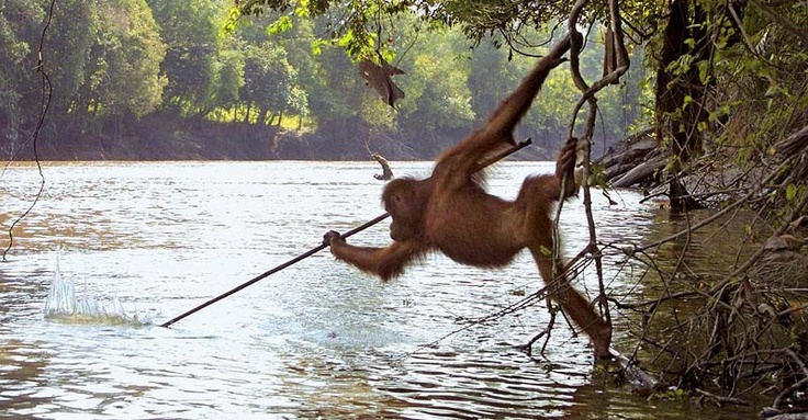 Orangutan goes fishing!? No doubt! They are believed to be one of the smartest creatures after humans.  The idea of intelligent animals struck most people as ridiculous. But not any more – the latest science reveals that animals are a lot smarter than we thought. Scientist Liz Bonnin embarks on a worldwide search for the planet's most intelligent animals.