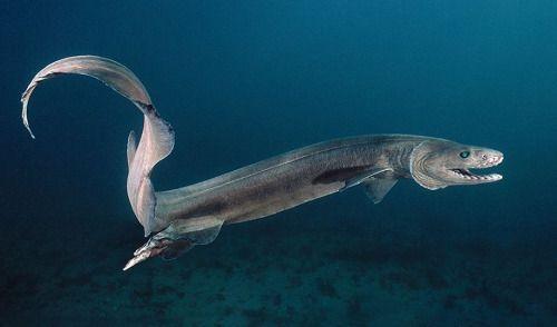 Frilled shark, my favorite!