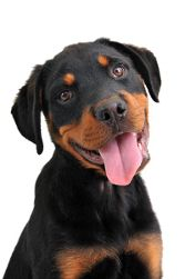 rottweiler biting how to stop