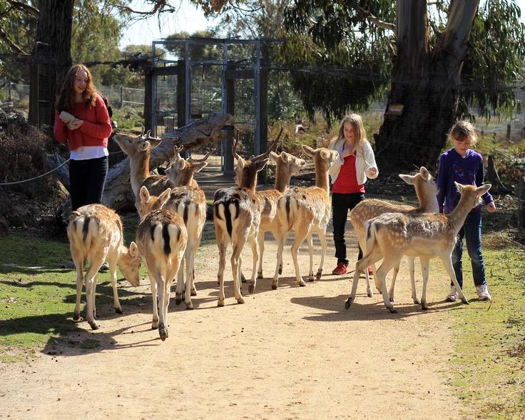 Madison, Amy and Sarah - 'personal tour-guide' Deer at Halls Gap Zoo - Grampians.