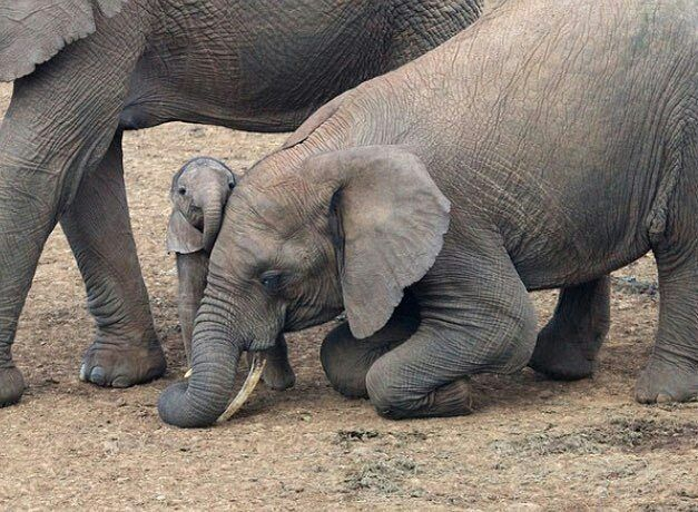 how it is possible to be so cute. .? Credit : @phantastic_phants - For info about promoting your elephant art or crafts send me a direct message @elephant.gifts or emailelephantgifts@outlook.com . Follow @elephant.gifts for inspiring elephant images and videos every day! . . #elephant #elephants #elephantlove