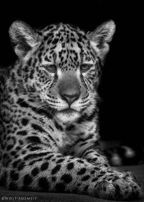 16 besten schwarz wei e leoparden bilder auf pinterest. Black Bedroom Furniture Sets. Home Design Ideas