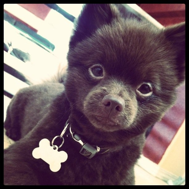 shaved chocolate pomeranian