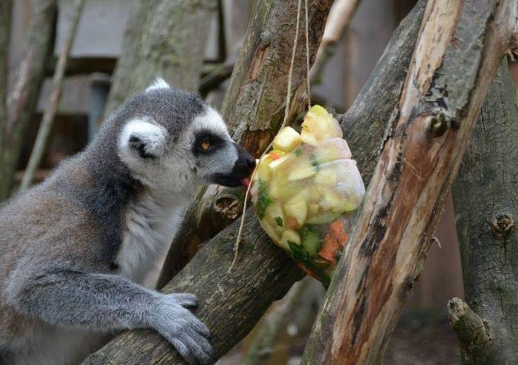 Tijdens het dierenverzorgerskamp maken de deelnemers lekkere ijslolly's voor de apen. Mmmm! Lekker! :) Meer foto's op de fb pagina van De Zonnegloed: https://www.facebook.com/pages/De-Zonnegloed/118423168264907?fref=ts