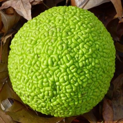 What Is Osage Orange: Information About Osage Orange Trees - The Osage orange tree is an unusual tree. Its fruit are wrinkled green balls the size of grapefruit and its yellow wood is strong and flexible. Growing an Osage orange tree is fast and easy. Read this article for information about Osage orange trees.