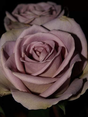 amnesia rose, used in our wedding decor..lovely!