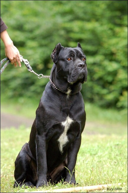 """Brian`s """"Family Dog"""" King Corso Mastiff going to b  named Twinkle Toes"""