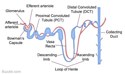 Labeled Diagram of a Nephron And Its Location And