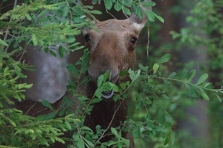 Eurasian elk - photo#7