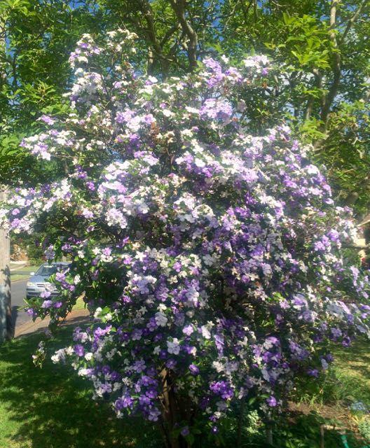 Brunsfelsia sp. Sydney Australia