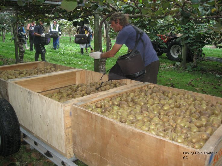 Picking gold kiwifruit