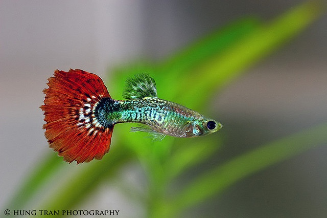 ❤❤❤ Copyrights unknown. Red Fantail Guppy Livebearer.
