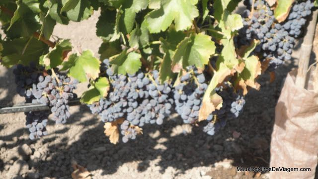 Uvas na vinícola Concha y Toro