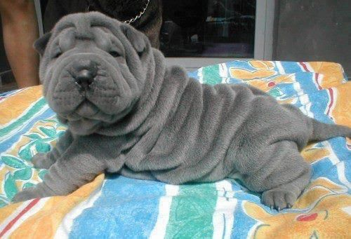 I am a huge dog lover (despite not having a pet of my own--come on, Mom!!). Specifically, I love Pitbulls and Shar Peis. Like, look at this puppy!! IT'S SO WRINKLY!!!
