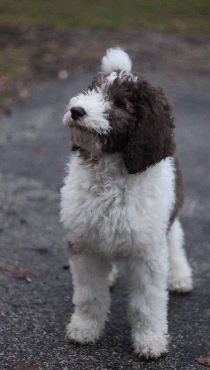 Best poodle do ideas on pinterest poodles standard poodles and