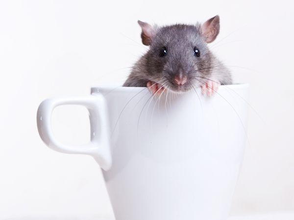 تعرفوا على اذكى 10 حيوانات على الكرة الأرضية ذكرت مجلة بسيكولوخيا إي منتي الإسبانية فى تقرير لها عن أذكى أنواع الحيوانات ع Animals Animal Photography Rats