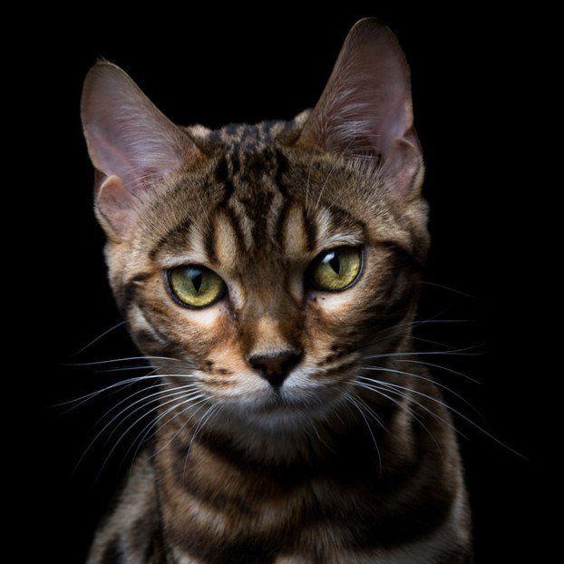 13 extrañas razas de gatos, totalmente diferentes al gato doméstico   LikeMag   We like to entertain you