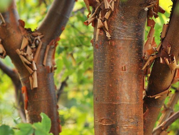 Träd med vacker bark - kopparlönn