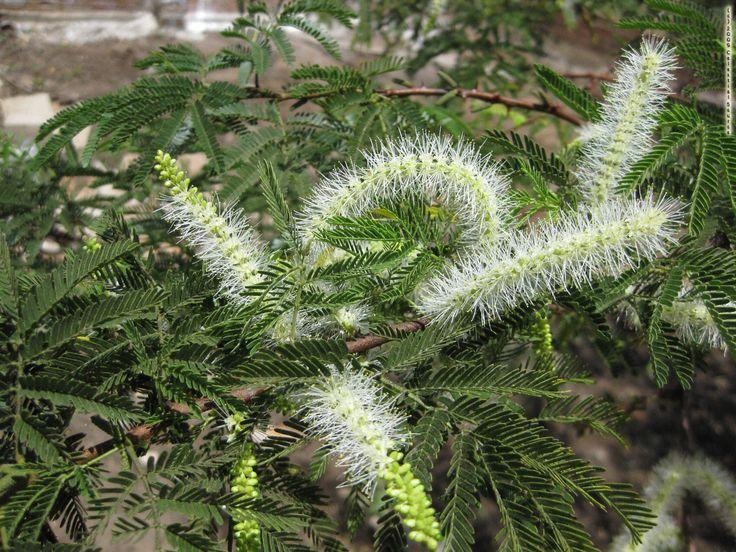 Jurema - Mimosa hostilis | Natureza Bela