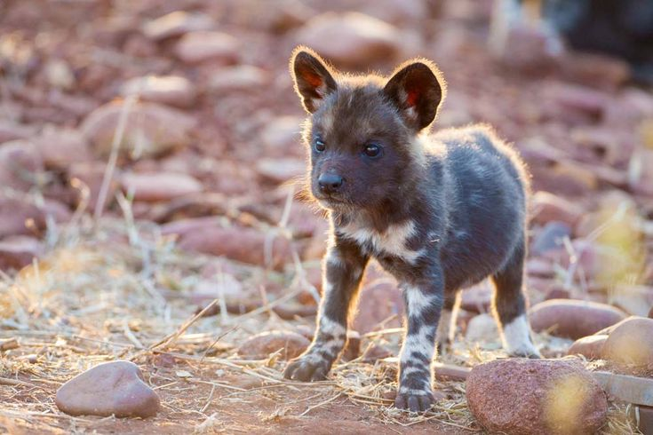HD Nature Wallpapers, Wild Dog Puppy, South Africa.