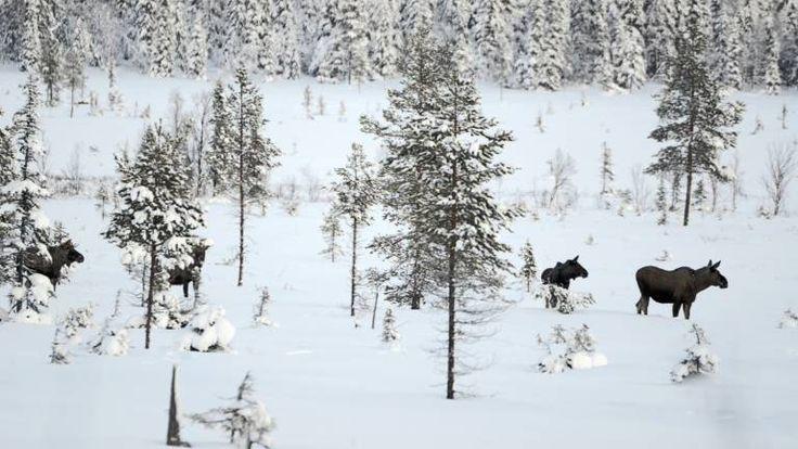 Sverige har världens tätaste älgstam - Skogforsk
