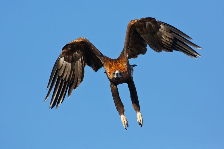 Wedge-tailed eagle - Wikipedia, the free encyclopedia
