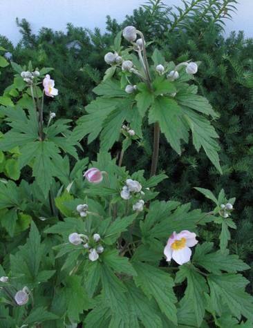 Výsledek obrázku pro anemone hupehensis