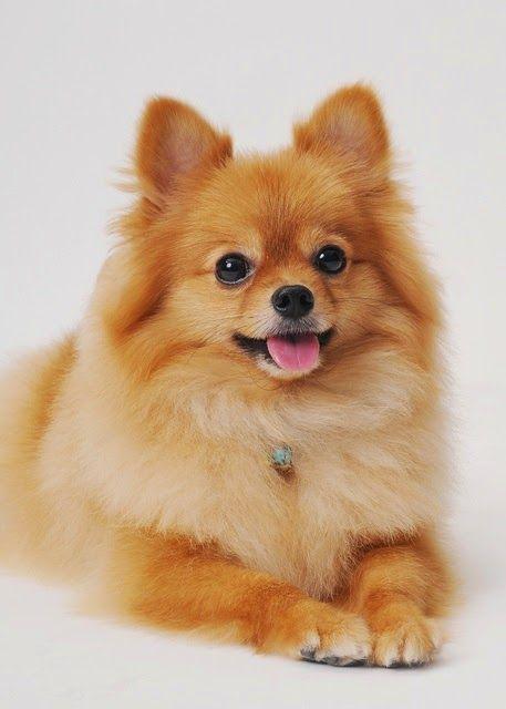 Your Pomeranian pal