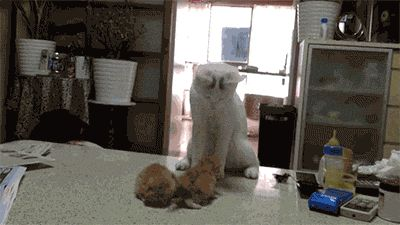 awwww-cute: Mother cat gives her kittens lessons on fighting