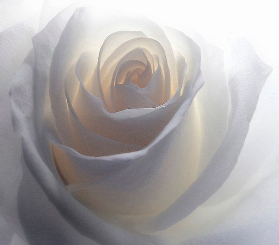 looks like the light is deep inside the rose. beautiful shades of white