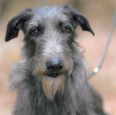 CH Foxcliffe Hickory Wind: Hickory the Scottish Deerhound, the winner of the 2011 Westminster!