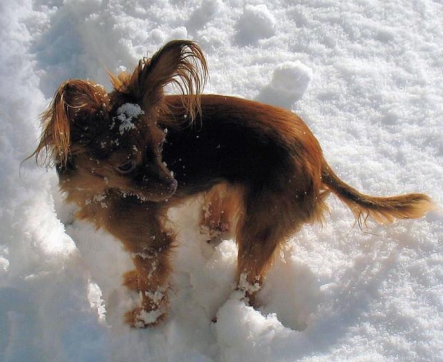 Tasha, Russian Toy Terrier
