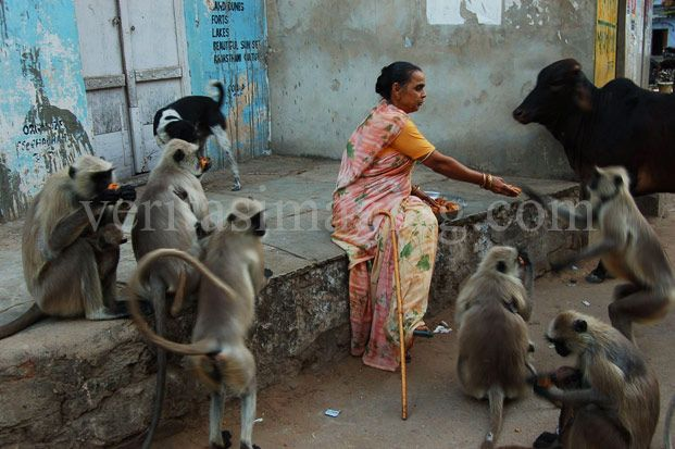 monkey-lady-feeding-monkeys-India
