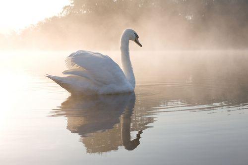 <3  soft & lovely  white swan in morning mist