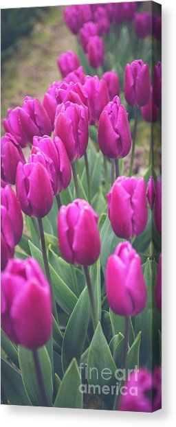 Purple Beauty Skagit Tulip Festival Canvas Print by Alanna DPhoto