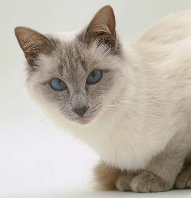 Balinese cat - Google Search