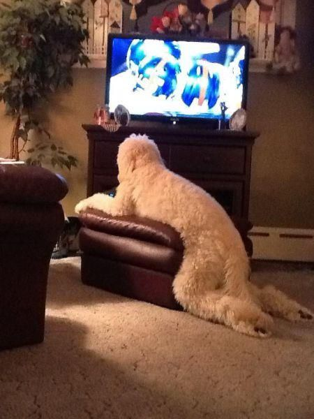 My #goldendoodle does this ALL the time too!!! So does my #labradoodle #dog. I love the way her legs look.