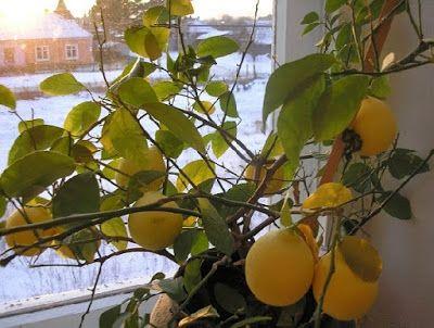 Женсовет: Сохнут листья лимона: почему и что делать