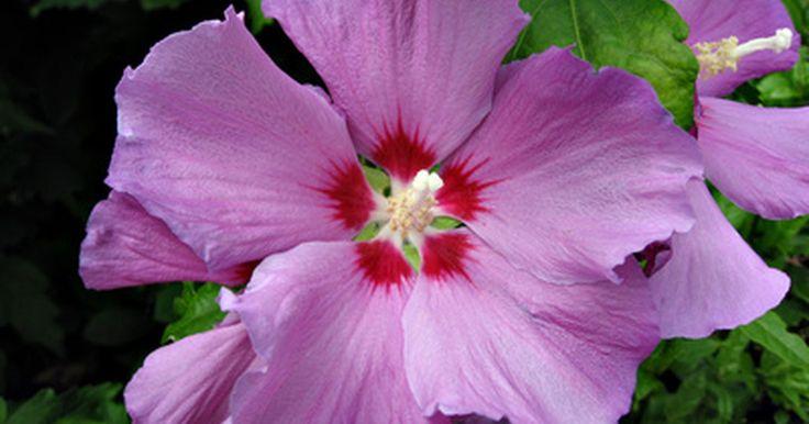 Como plantar o arbusto rosa de sarom a partir de semente. Os arbustos rosa de sarom (Hibiscus syriacus - L.) florescem abundantemente desde o começo até o final do verão. As flores de coloração marrom, lavanda ou azul atraem borboletas e beija-flores como se fossem ímanes. A rosa de sarom é fácil de plantar a partir de sementes por qualquer pessoa que seja paciente e curiosa sobre a propagação de ...