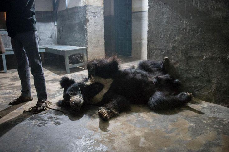 Rangeelas Besitzer steht in der Polizeistation auf einem Seil, dass durch das Maul des Bären führt. Sowohl Rangeela als auch Sridevi wurden die Zähne entfernt, das ist bei Tanzbären üblich. In freier Wildbahn fressen Lippenbären Termiten. Diese Bären haben eine Ernährung aus Reis und Milch überlebt. Foto: Neil D'Cruze #Bär #Rettung #Tanzbär #Tierschutz