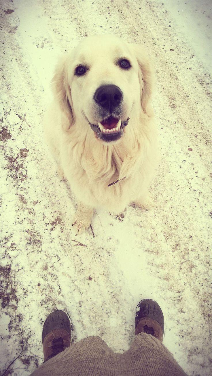 Sonia na zimowym spacerze #golden #dog #pies #retriever #mazury #masuria #nawygonie