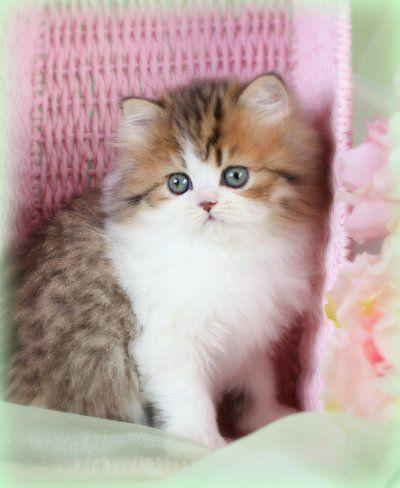 White persian kittens for sale toledo ohio