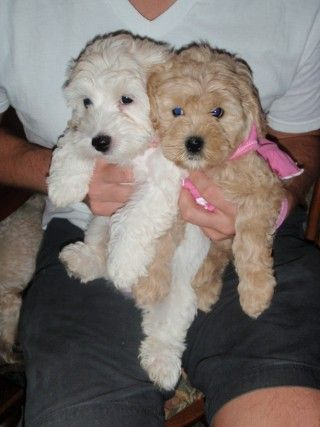 Cockapoo breeder in Tennessee, these are the cutest dogs :)
